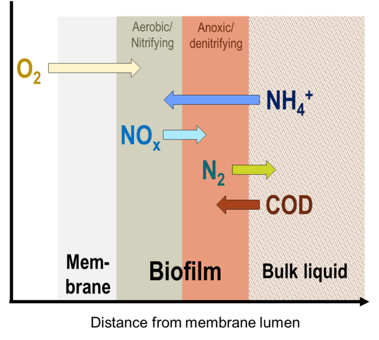 Schematic of MABR biofilm and associated transfer of oxygen, carbon and nitrogen species